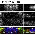 Cell–Cell Adhesion and Myosin Activity Regulate Cortical Actin Assembly in Mammary Gland Epithelium on Concaved Surface